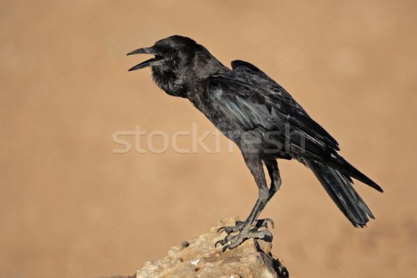 черный ворон рок пустыне ЮАР природы Сток-фото © EcoPic