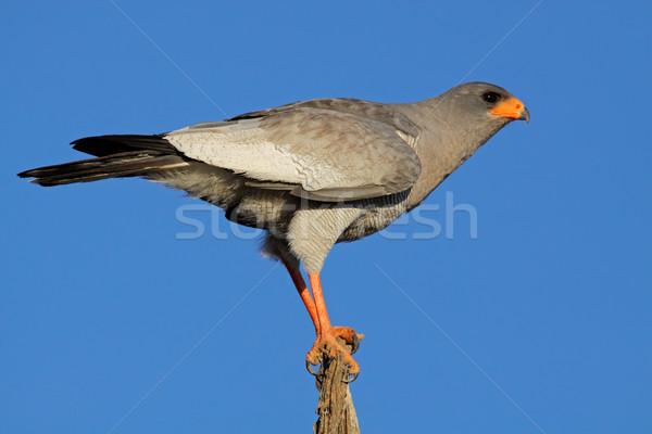 Pálido ramo África do Sul árvore pássaro azul Foto stock © EcoPic