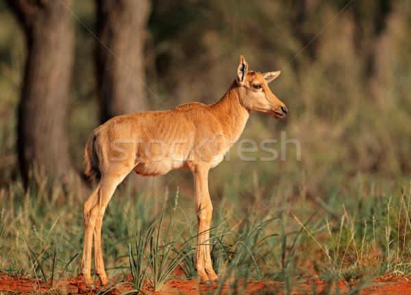 Fiatal ritka természetes élőhely Dél-Afrika természet Stock fotó © EcoPic