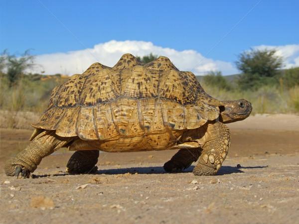 Hegy teknősbéka természetes környezet Dél-Afrika teknős Stock fotó © EcoPic