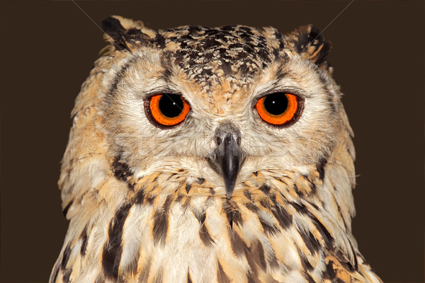 Eagle owl portrait yeux nature Photo stock © EcoPic