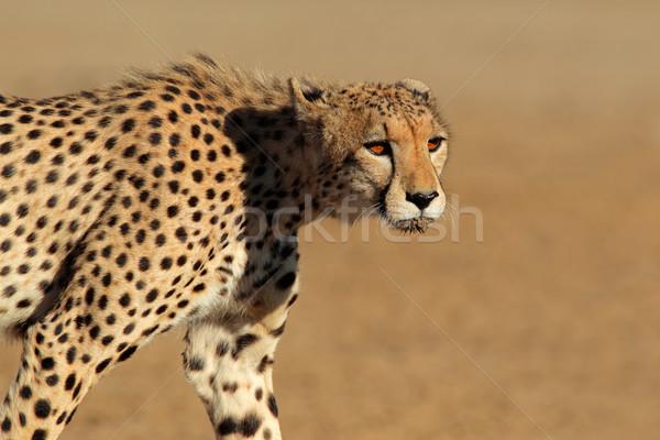 Gepárd sivatag Dél-Afrika szemek portré Afrika Stock fotó © EcoPic