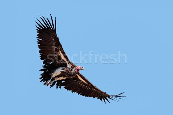 Dögkeselyű repülés Dél-Afrika madár kék fekete Stock fotó © EcoPic