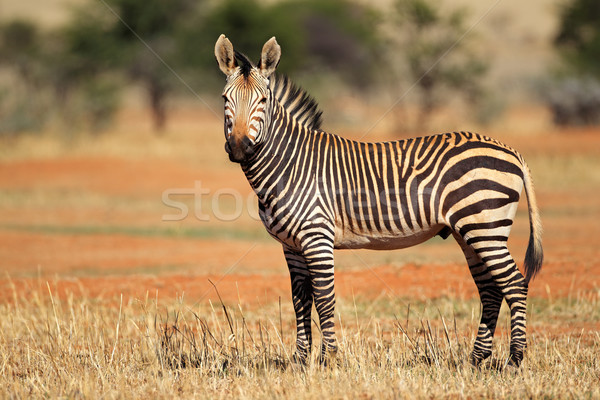 Hartmanns Mountain Zebra Stock photo © EcoPic