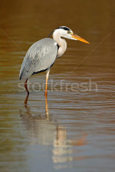 Gri balıkçıl su yansıma Güney Afrika doğa Stok fotoğraf © EcoPic
