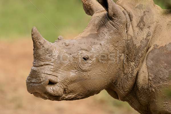 White rhinoceros portrait Stock photo © EcoPic