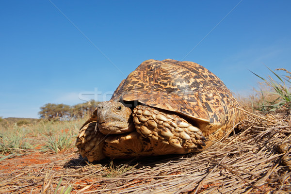 Leopard tortoise Stock photo © EcoPic