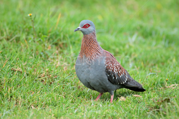 Rock pigeon on grass Stock photo © EcoPic