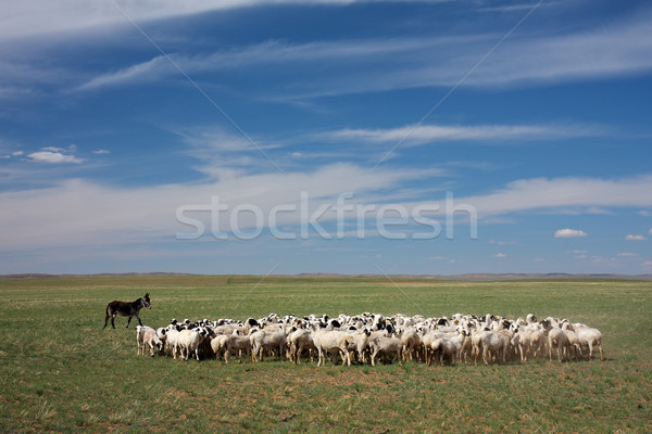 Herd of sheep Stock photo © EcoPic