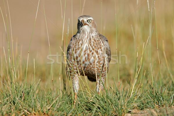 Blady niedojrzały parku Namibia południowy Afryki Zdjęcia stock © EcoPic