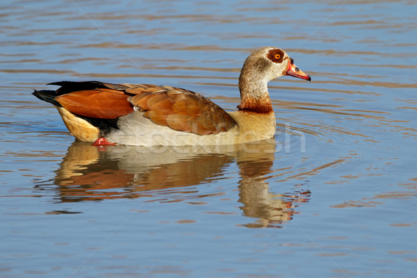 Egyptian goose Stock photo © EcoPic