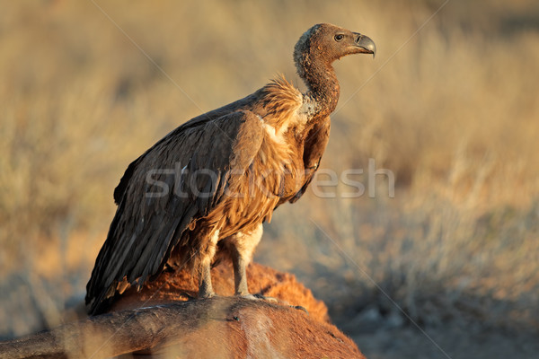 Scavenging white-backed vulture Stock photo © EcoPic