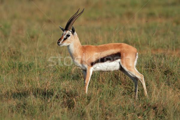газель мужчины озеро парка Кения животного Сток-фото © EcoPic