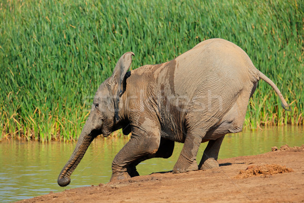 Elephant drinking water Stock photo © EcoPic