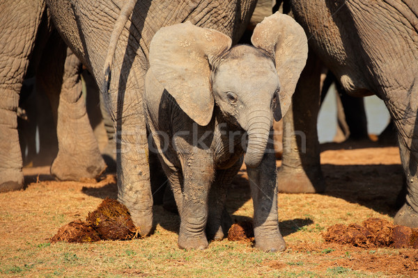 Stockfoto: Baby · afrikaanse · olifant · cute · olifant · park · South · Africa