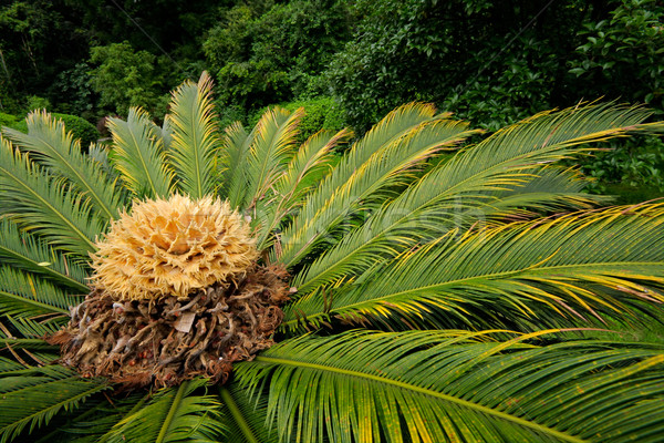 Chinese cycad Stock photo © EcoPic