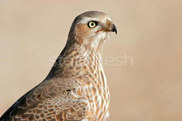 Pâle portrait immature parc Namibie sud Photo stock © EcoPic