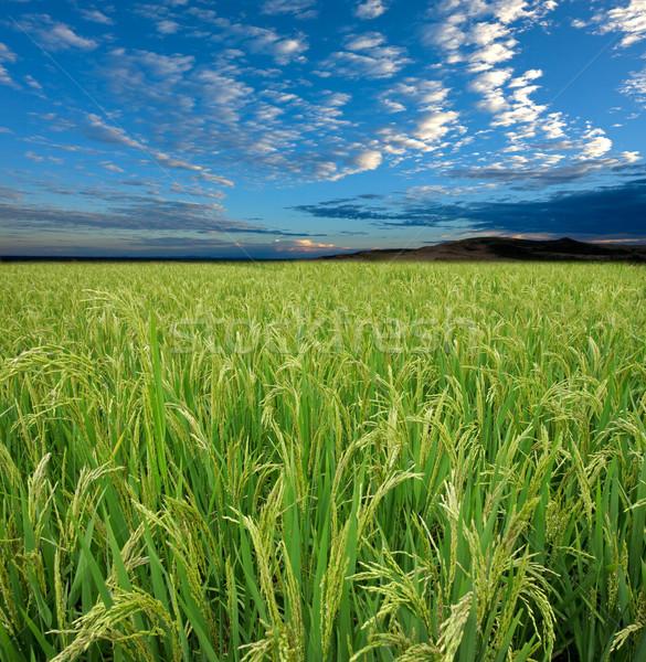 Rijstveld hemel weelderig groene blauwe hemel wolken Stockfoto © EcoPic