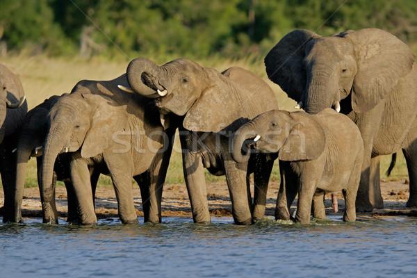 アフリカ 群れ 公園 ジンバブエ 自然 ストックフォト © EcoPic