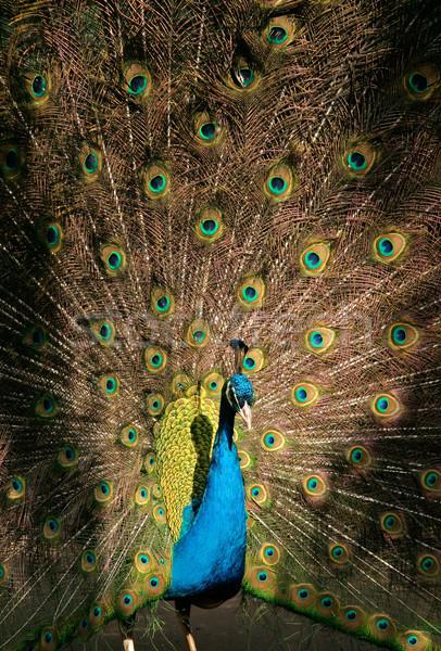 Peacock Stock photo © EcoPic