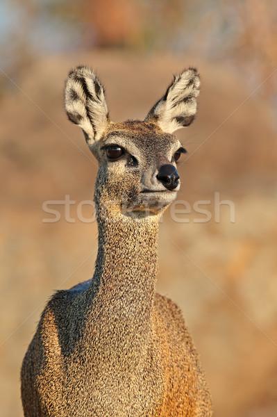Retrato parque Sudáfrica ojos animales África Foto stock © EcoPic