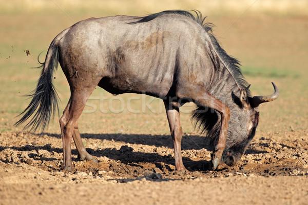 Blue wildebeest playing Stock photo © EcoPic