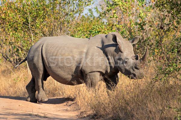 White rhinoceros Stock photo © EcoPic