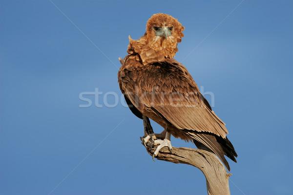 Bateleur eagle Stock photo © EcoPic