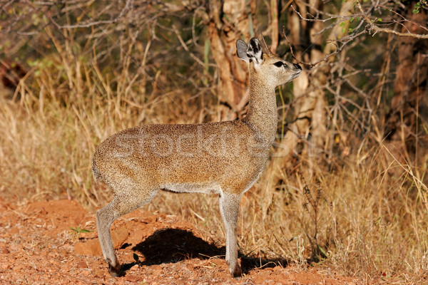 Klipspringer antelope Stock photo © EcoPic