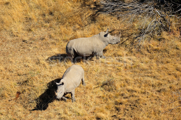 White rhinoceros pair Stock photo © EcoPic