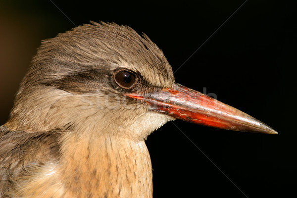 Brown-hooded Kingfisher Stock photo © EcoPic