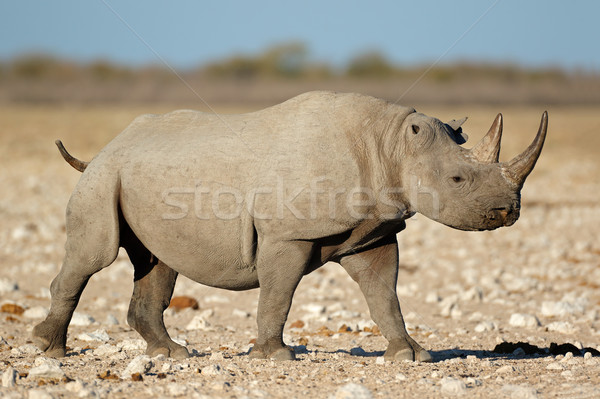 Black rhinoceros in natural habitat Stock photo © EcoPic