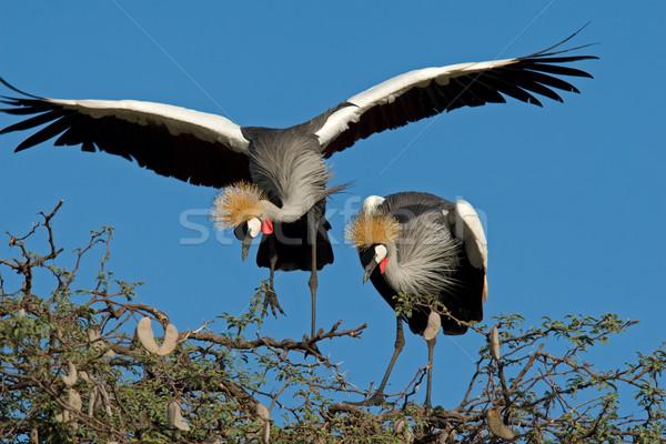 Crowned cranes Stock photo © EcoPic