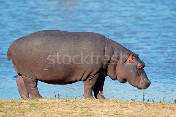 Hippopotamus Stock photo © EcoPic