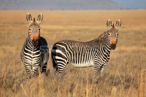 Cape Mountain Zebras Stock photo © EcoPic