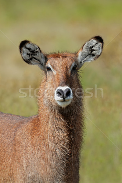 Stock photo: Defassa waterbuck