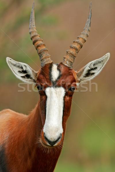 Portré veszélyeztetett Dél-Afrika arc állat afrikai Stock fotó © EcoPic