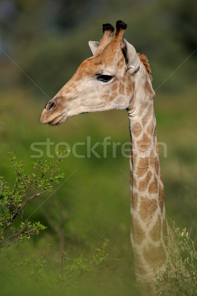 Giraffe portrait Stock photo © EcoPic