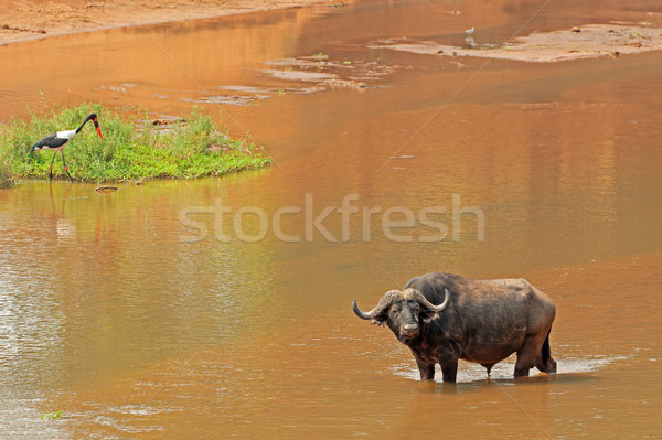 African buffalo in river Stock photo © EcoPic
