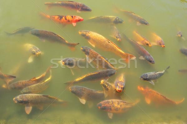 ニシキゴイ 魚 カラフル 池 水 オレンジ ストックフォト © EcoPic