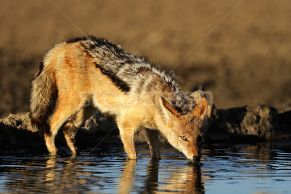 Drinking Jackal Stock photo © EcoPic