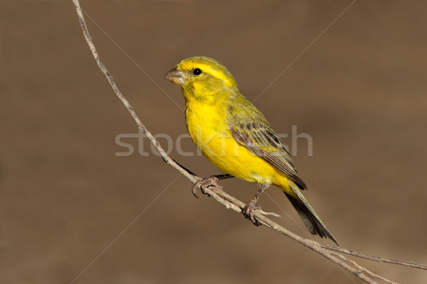 Yellow canary Stock photo © EcoPic
