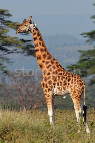 Rothschilds giraffe Stock photo © EcoPic