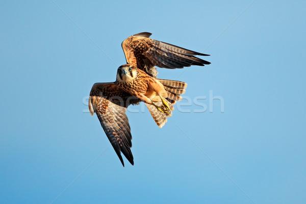 Lanner falcon in flight Stock photo © EcoPic