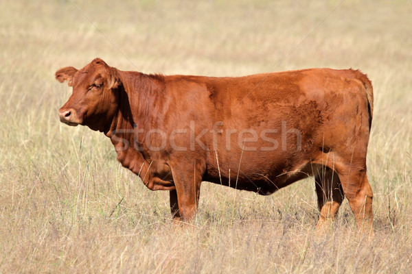 Red angus cow Stock photo © EcoPic