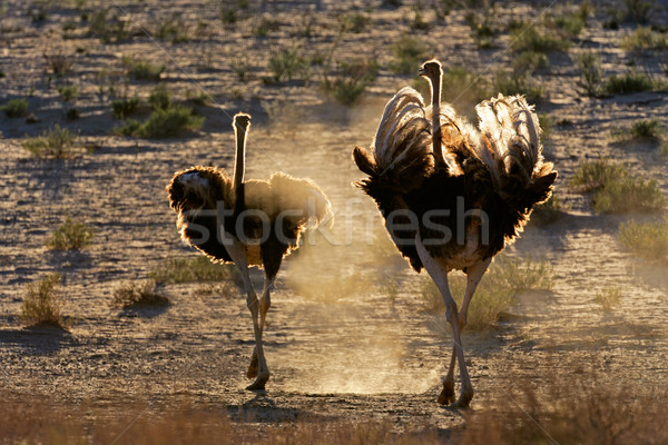 Pyłu dwa spaceru pustyni Południowej Afryki ptaków Zdjęcia stock © EcoPic