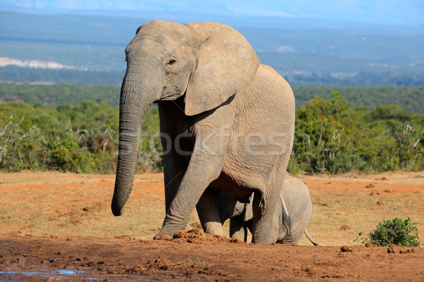 Elefant african elefant parc Africa de Sud Africa animal Imagine de stoc © EcoPic