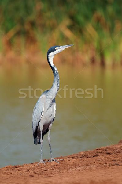 Reiger South Africa natuur vogel benen dier Stockfoto © EcoPic