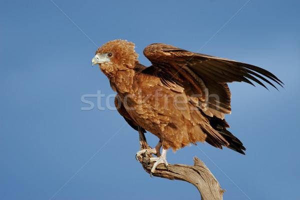 Jeunes aigle immature branche désert Afrique du Sud Photo stock © EcoPic