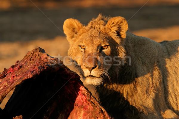 Feeding African lion Stock photo © EcoPic